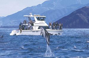 Senkrecht aus dem Wasser: Delfine vor Kaikoura. Foto: Dennis Buurman
