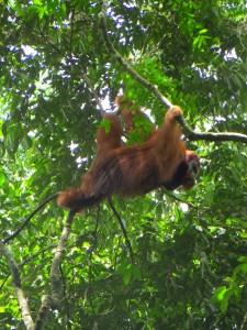 Hautnah: Ein Orang Utan im Dschungel von Ketambe auf Sumatra. Foto: ObstmeierKetambe