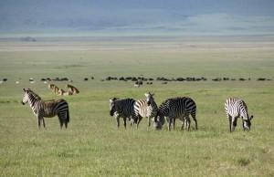 Die Löwen lauern weiter. Die Büffel im Hintergrund sind mittlerweile außer Reichweite. Aber wie wäre es mit einem Zebra? Foto: Kathrin Schierl