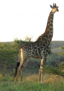 Eine stolze Giraffe.