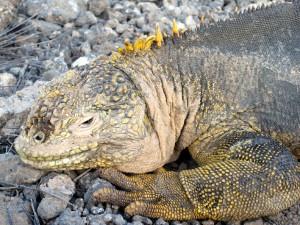 Leguane (Iguanidae) bilden eine Familie der Schuppenkriechtiere.