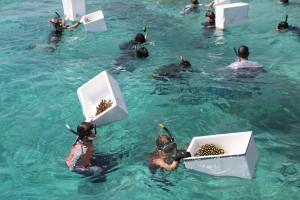 Gefährdete Korallen finden auf den Malediven ein neues Zuhause. – Foto: Kurumba Maldives