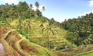 Die Reisfelder.