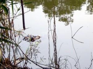 Krokodile unter der Brücke.