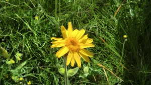 Die Echte Arnika, auch Bergwohlverleih genannt, ist eine Pflanzenart aus der Gattung Arnika innerhalb der Familie der Korbblütler. Sie gedeiht in den Gebirgen Europas. - Foto: Dieter Warnick