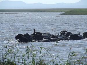 Schwimmende Elefanten im iSimangaliso Wetland Park. - Foto: South African Tourism