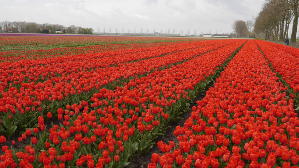 Rotes Tulpenmeer.