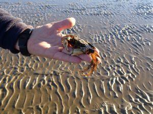 Auf Strandkrabben trifft man im Wattenmeer auf Schritt und Tritt. - Foto: Dieter Warnick