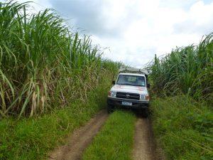 Mit dem Jeep geht es durch Zuckerrohrplantagen.