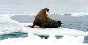 Walrosse wirken nur stoisch, sie können auch sehr aktiv sein. Foto: Poseidon Expeditions