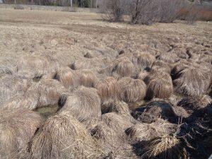 Südlich des Wildsees breitet sich das Reither Moor aus, ein aus der Verlandung des Natursees hervorgegangenes, mit Latschen durchsetztes Hochmoor. Eine Ähnlichkeit zu den Pilzköpfen der Beatles ist nicht von der Hand zu weisen. - Foto: Dieter Warnick