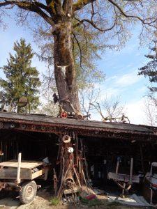 Selbst dieser knorrige Baum dient als Ausstellungsobjekt. Er steht in einer alten Hütte und wächst aus dem Dach heraus. - Foto: Dieter Warnick