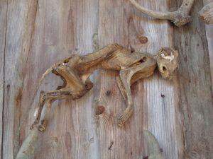 Eine luftgetrocknete Katze hängt seit 40 Jahren an dieser alten Holzwand. - Foto: Dieter Warnick