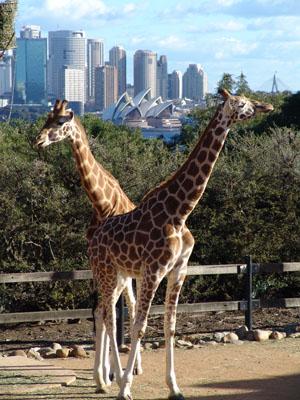 Traumblick aus dem Taronga Zoo.