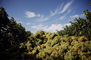 Trauben über Trauben - die Früchte warten nur noch auf ihre Verarbeitung. Foto: Matteo Lavazza