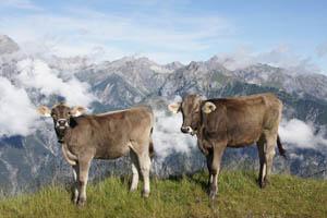 Am Krahberg: Tiroler Grauvieh vor traumhafter Alpenkulisse. Foto: Kathrin Schierl