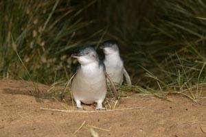 Auf Phillip Island leben die kleinsten Pinguine der Welt.