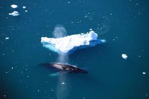 """Eine gute Chance Wale zu sehen, bietet die Tour """"Disko Whale Zafari"""". Sie führt zu den Riesen-Eisbergen am äußeren Ende des Ilulissat Eisfjordes und dann zur Küste der Diskobucht. Foto: Branding Greenland"""