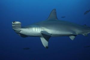 Hammerhai auf den Malediven.
