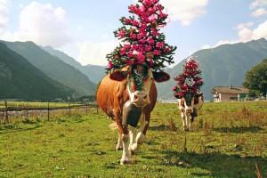 Wenn sich die Sommersaison ihrem Ende zuneigt, dann werden die Kühe prunkvoll geschmückt und von den Almen heruntergebracht.