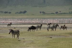 Flamingos am Lake Magadi, Gnus von links, Zebras von rechts. Foto: Kathrin Schierl
