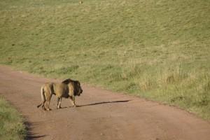 König der Tiere a. D. Ein einsamer Löwe lässt sich von den Safari-Touristen nicht beeindrucken und quert die Straße. Foto: Kathrin Schierl