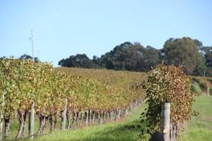 Für Cabernet Sauvignon und Chardonnay ist Margret River bekannt. Foto: Marco Peters