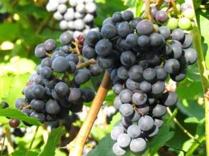 Trauben so prall, dass nur guter Wein gekeltert werden kann.