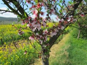"""Wenn das Mandelbäumchen zu blühen anfängt, dann """"steigt"""" das """"Mandelblütenfest"""" in Gimmeldingen."""