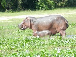 Auch Nilpferde gibt es in Südafrika.