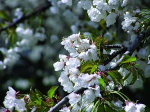 """Das """"Fest der Blühenden Kirschen"""" feiert man in Vignola seit 45 Jahren. - Foto: APT Servizi Emilia-Romagna"""