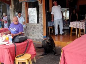 Nicht nur im Wasser zutraulich – eine Seehunddame fühlt sich auch in so manchem Restaurant heimisch.