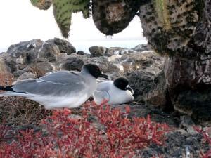 Auch diese Möwenart ist auf den Galapagosinseln zu finden.