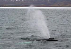Spritzender Bartenwal im Fjord von Eyjafjörður.
