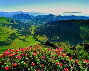 Eine Augenweide sind die Almrosen am Wiedersbergerhorn. - Foto: Alpachtal Seenland Tourismus