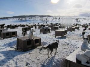 Die Schlittenhunde in ihrem Zuhause bei Tromsø.
