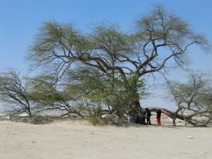 Der Baum des Lebens, eine mehr als 400 Jahre alte Riesen-Akazie, gedeiht mitten in der Wüste. Woher sie ihr Wasser bezieht, gibt bis heute als Mysterium. - Foto: Dieter Warnick