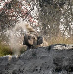 Wilder Elefantenbulle.