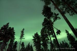 Selbst bei trübem Wetter lassen sich die Nordlichter zwischen den Bäumen in Kakslauttanen beobachten.
