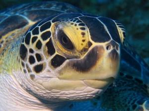 Die Riffe rund um Saba liegen in einer Umweltschutzzone. Die zahlreichen Schildkröten begegnen den Tauchern ohne Scheu und mit großer Neugier.