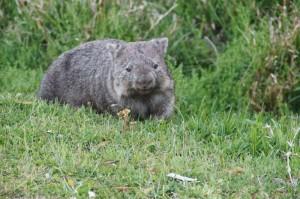 Ein Wombat.