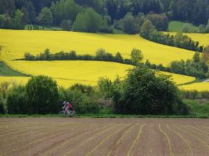 Rapsfelder wohin das Auge sieht; im Frühsommer ist der Taubertal-Radweg besonders lieblich. – Foto: Dieter Warnick