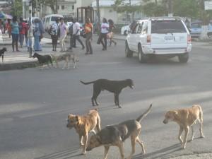 Überall, so auch in Castries, St. Lucia, streunende Hunde, die mitunter eine Kreuzung lahm legen und den Verkehr blockieren.