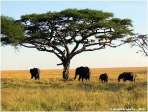 Auf nach Afrika. Foto: © Elephants (davidberkowitz-flickr.com CC BY 2.0