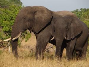 Elefanten im Saadani Nationalpark.