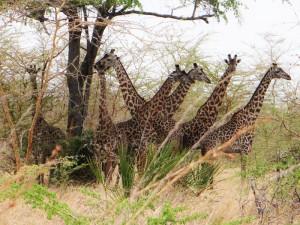 Giraffen im Saadani Nationalpark.