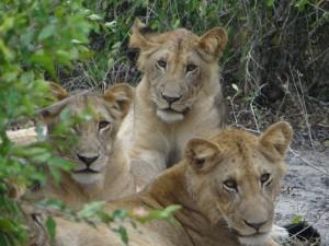 Löwen im Saadani Nationalpark.