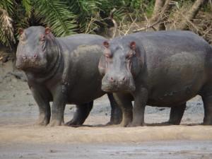 Nilpferde im Saadani Nationalpark.