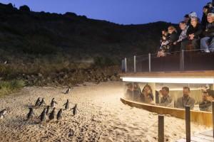 An der Pinguin-Parade am Summerland Beach gibt es eine Beobachtungsplattform, an der die kleinen Frackträger auf Augenhöhe der Zuschauer vorbei watscheln. - Foto: Phillip Island National Park