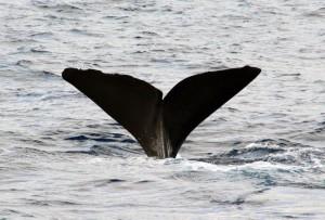 Whalewatching auf Dominica: Ein Pottwal taucht ab.
